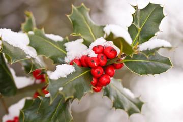 Branche de houx sous la neige
