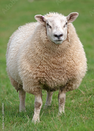 Fat woolly sheep