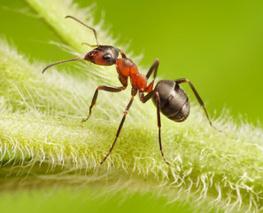ant formica rufa on grass