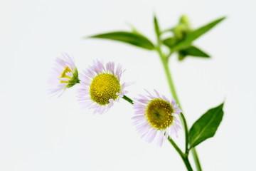 姫女菀の花Erigeron annuus