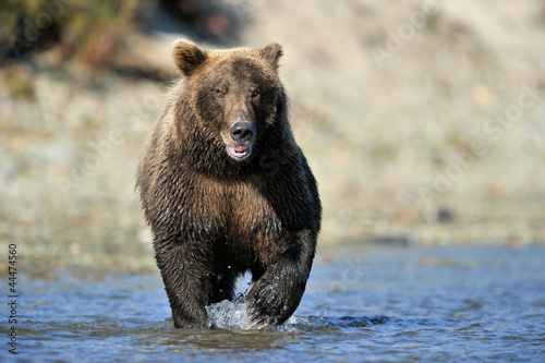 Grizzly Bear fishing in river.
