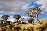 Quiver tree forest. Kokerbooms in Namibia, Africa