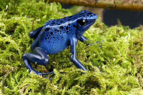 Foto op Canvas Kikker Blue poison dartfrog / Dendrobates azureus