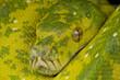 Green tree python / Morelia viridis