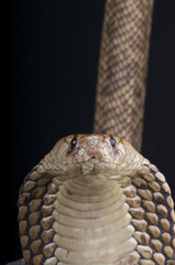Egyptian cobra / Naja haje