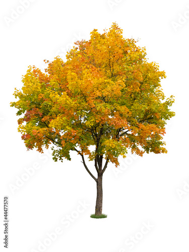 Autumn tree isolated
