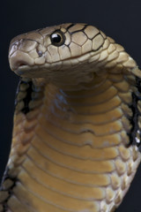 King cobra / Ophiophagus hannah