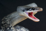 Attacking rat snake / Orthriophis taeniurus