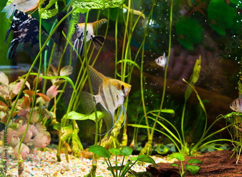 Tuinposter Koraalriffen fish angelfish in a tropical fish tank with many plants