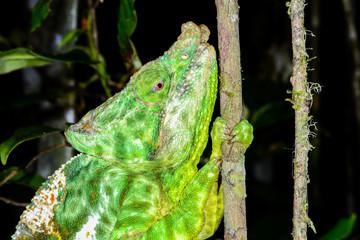 parson's chameleon, andasibe