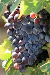 Reife Weintrauben am Stock