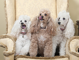 Three Miniature French Poodles on Chair