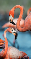 Flamingo (Phoenicopterus ruber) © Uryadnikov Sergey