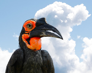 The Southern Ground Hornbill or Bucorvus leadbeateri.
