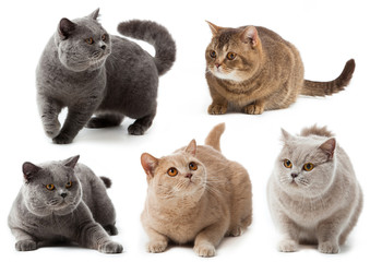 British cat collection.  British shorthair cat on a white