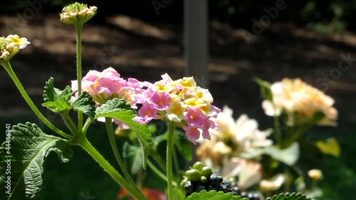 Farfalla su fiore di Lantana - Butterly on Lantana flower