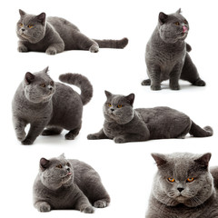 Collection of British Shorthair cat on white background