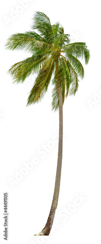 Staande foto Palm boom Coconut palm tree isolated on white background. XXL size.