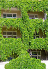 Windows covered with ivy