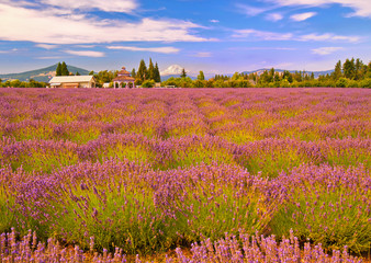 Beautiful lavender field at sunset time