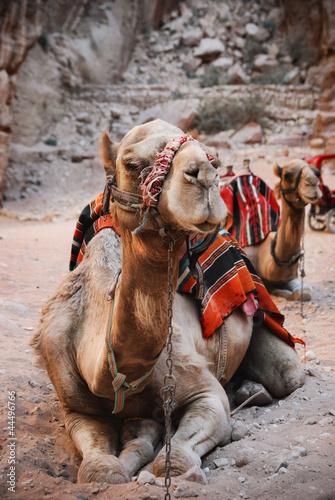 Foto op Canvas Kameel Camels