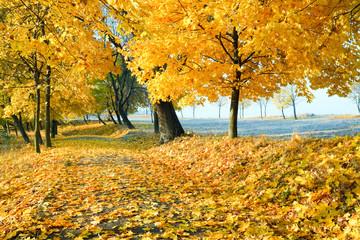 autumn maple trees in  park