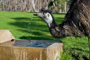 WIld Emu drinking water, Australia
