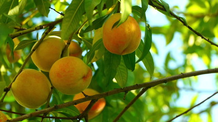 Several ripe peaches on the tree