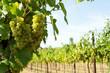 frische Weintrauben auf Weinstock