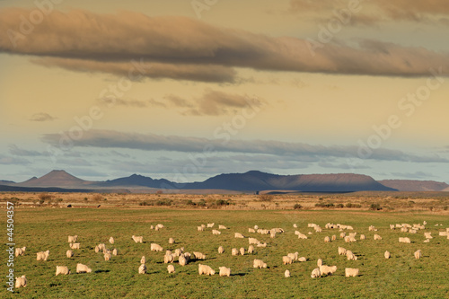 Flock of Angora goats on lush green pasture