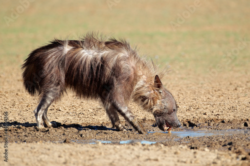 Brown hyena drinking water