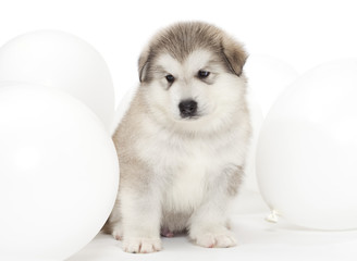 Malamute puppy with white balloons