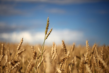 Wheat against summer sky, ready for harvest