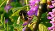 Bumblebee gathering pollen.
