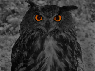 Great horned owl (Bubo bubo)