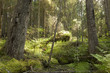 Untouched primeval spruce forest, nature reserve in Sweden