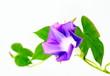 青紫の朝顔morning glory