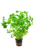 Green fresh curly parsley