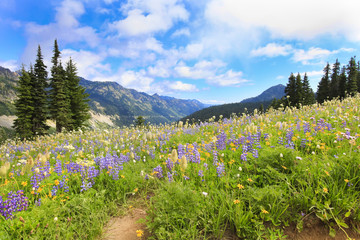 Mt.Rainier hiking trail with wild flowers.