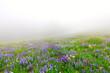 Wild flowers blooming in the fog near Mt. Rainier
