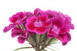 Pink Sweet William (Dianthus Barbatus) Flowers
