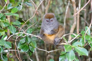 grey bamboo lemur, lemur island, andasibe