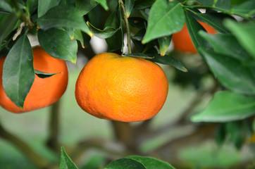 Orange at Chiang Mai