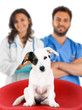 Veterinarians with Jack Russell