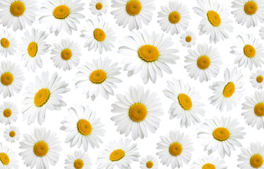 chamomile flowers texture, on a white background