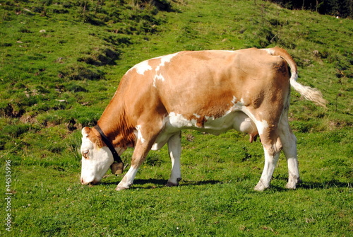 white and brown cow in a green grass meadow