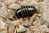 nocturnal millipede glomeris marginata poster