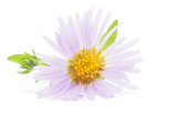 perennial aster on a white background