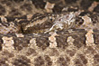 Hognosed viper / Porthidium ophryomegas