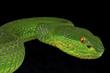 Green pitviper / Trimeresurus albolabris